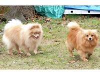 PAIR OF POMERANIANS. (MALE AND FEMALE)