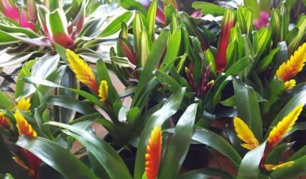 SUCCULENTS, Bromeliads, Terracotta Pot, base, Gorgeous Colours! Turners Beach Central Coast Preview