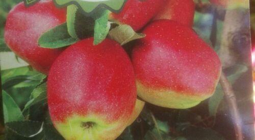 Apfelbaum,´ Gloster´, im  5 L Topf gewachsen,