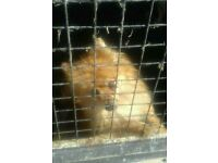 Pomeranian dog a family pet has to go to a good loving home the dog is 1 year old