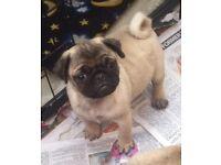 Pug cross girl puppy