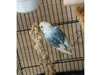 Budgie Found this morning Bramford lane Ipswich