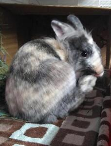 "Young Male Rabbit - Lionhead: ""Thumper"""