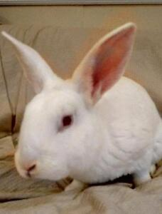 """Young Male Rabbit - New Zealand: """"Ned"""""""