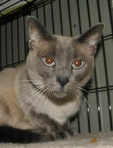 "Adult Female Cat - Siamese: ""Sidney"""
