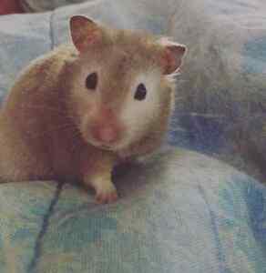 Loving Hamster for sale
