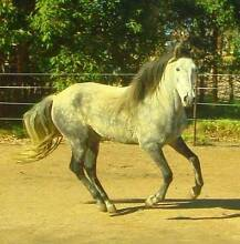 ANDALUSIAN PUREBRED HORSE Byford Serpentine Area Preview