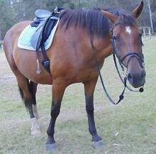 Lovely Holsteiner Warmblood Bonogin Gold Coast South Preview