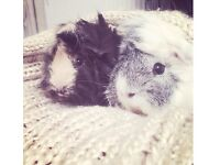 Two cute friendly male Guinea pigs - free to the right home