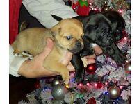 Pug x puppies