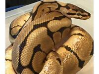 Male royal python (spider) and vivarium