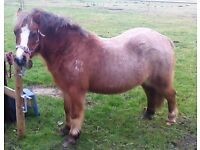 Sweety - 11h2 Bay Roan, perfect unflappable pony, no secrets, with references, ideal family pony!