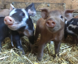 Beautiful Heritage Breed Weaner Pigs