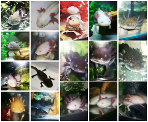 Axolotls 10.00 and Eggs 2.50