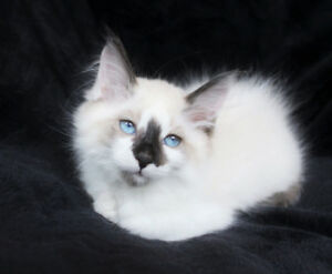 Ragdoll Kittens are ready for Rehoming