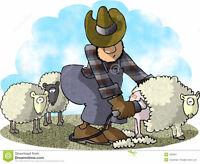 Kiwi Sheep Shearing