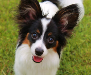 Chihuahua, Pom, or paploin (can be puppy or adult)