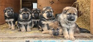 German Shepherd puppies ***1 MALE and 1 FEMALE LEFT***