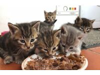 7 part Bengal kittens for sale