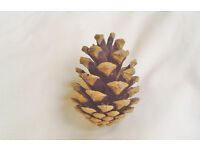25 Pine Cones , Delivery in central Brentwood included in price.