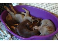 dobermann puppies for sale