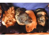 Baby girl and boy guinea pigs