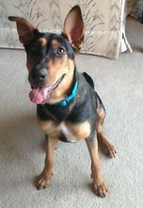 Adult Female  - Doberman Pinscher-German Shepherd Dog