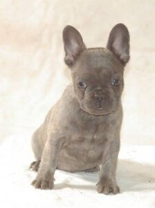 French bulldog puppies Fairfield Fairfield Area Preview