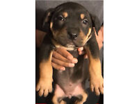 Female Rottweiler pup
