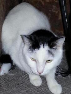 """Adult Male Cat - Domestic Short Hair (Black & White): """"Duke"""""""