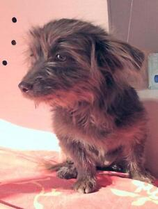 "Baby Female Dog - Shih Tzu-Terrier: ""LILLY"""