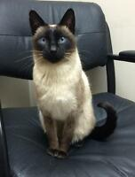 "Adult Male Cat - Siamese-Domestic Short Hair: ""Moxie and Merlin"""