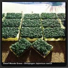 Dwarf (Mini) Mondo Grass - 100 Plants for $36.00 Delivered Free Killara Ku-ring-gai Area Preview