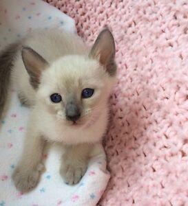 Chatons siamois / kittens siamese❣