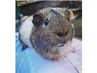 Boy guinea pig up for sale