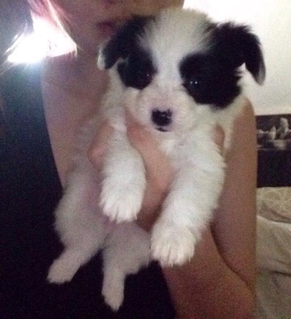 Pedigree Papillon Puppies For Sale Soon In Stowmarket Suffolk