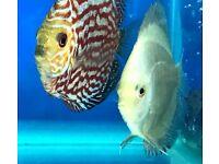 Mixed Discus for Sale | 3 inches | Blue Diamond | Cobalt | Red Turks | Blue Turks | Pigeon Blood