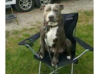 Missing blue and white staffie