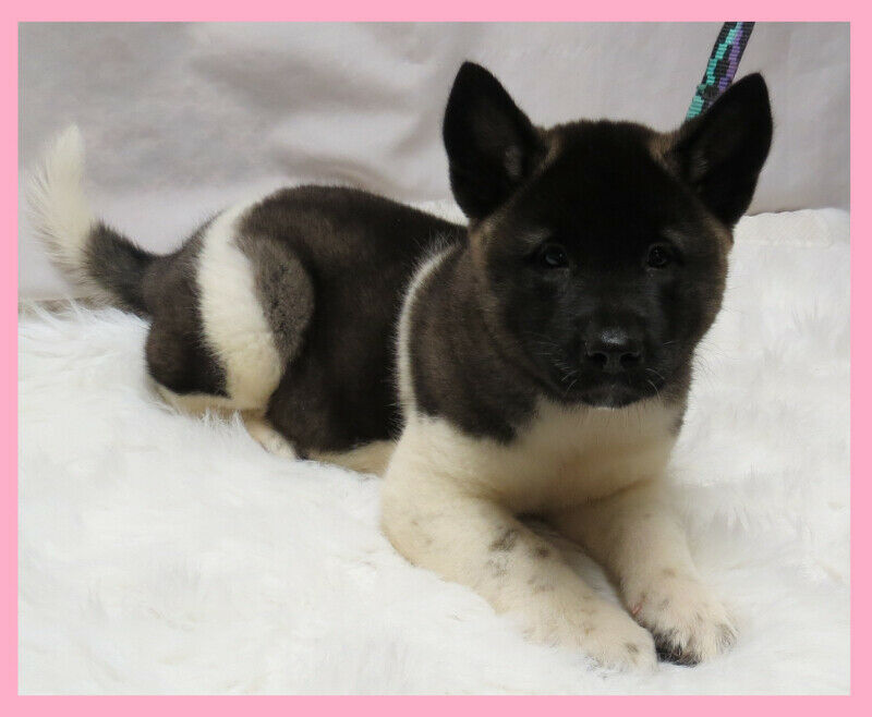 American Akita Puppies | Dogs & Puppies for Rehoming
