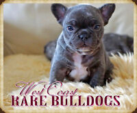 CHOCOLATES FRENCH BULLDOGS !!!  3 BOYS LEFT!!!