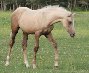 Appaloosa | Horses, Ponies for Sale or Adoption in Canada