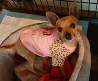 Sweet little Andi is an approximately 5 year old 3.8 lb chihuah