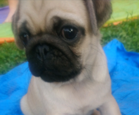 Dogs for sale in Barnsley, South Yorkshire - Gumtree