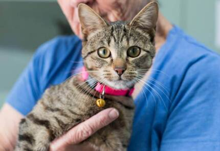 **PAWS OF PROMISE** PETUNIA - 1 YR OLD FEMALE TABBY** Ormeau Gold Coast North Preview