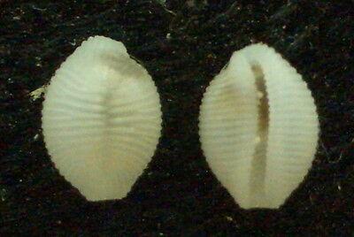 seashell Trivia millardi 17.5-20mm Gem