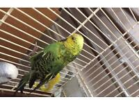 Exhibition Budgies £20 each, less if you buy 2 or more.