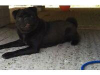 Kc black male pug