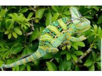 Male Yemen chameleon
