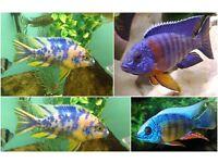 Fish Malawi Cichlids -- 1-2 Inch ---- £3