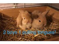 Gorgeous pure breed mini lops